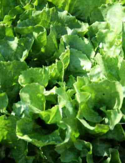 a picture of escarole growing in the raised bed garden