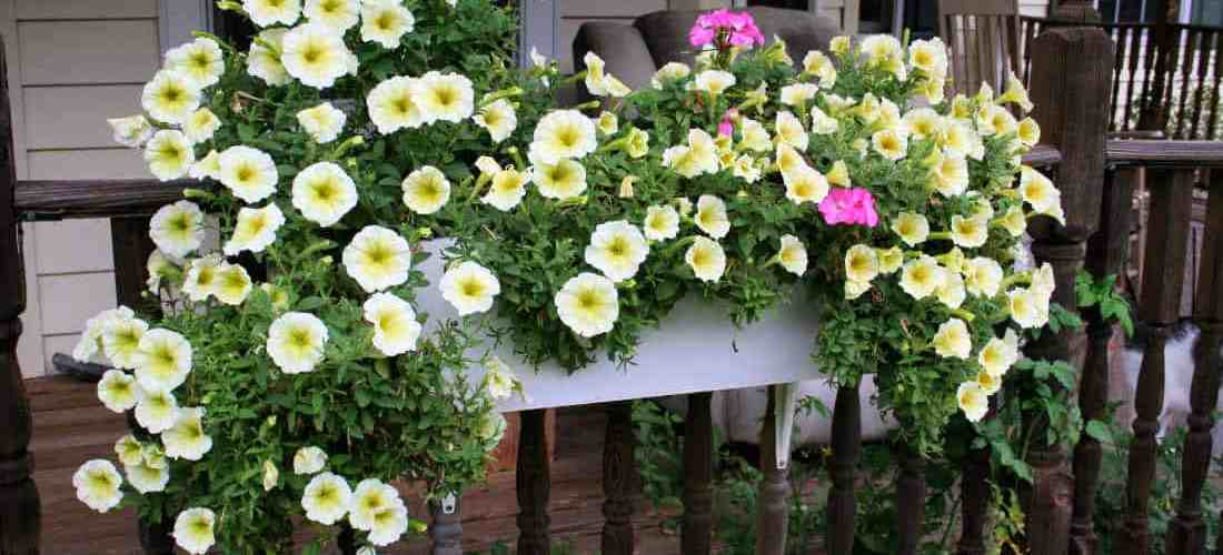 Long-Blooming Flowers for Window Boxes