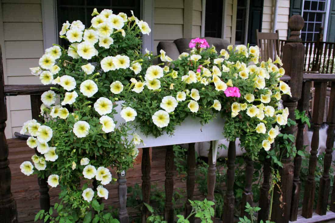 flowers for window boxes petunias