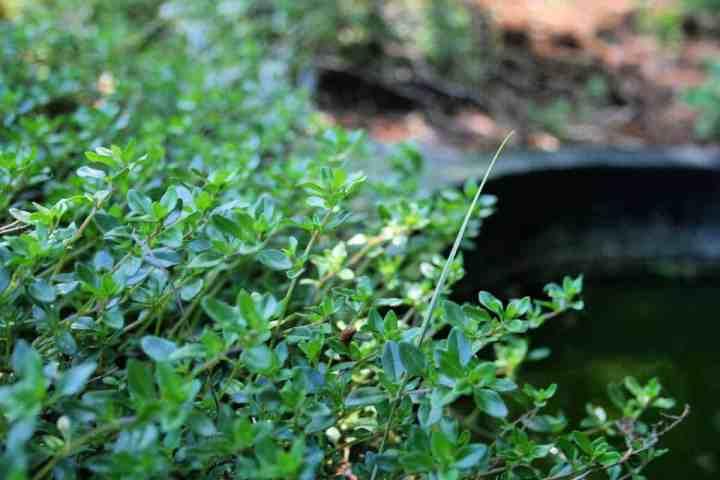 upright thyme grown near a garden pond