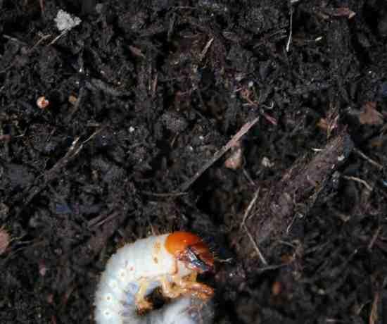 Japanese beetle grub