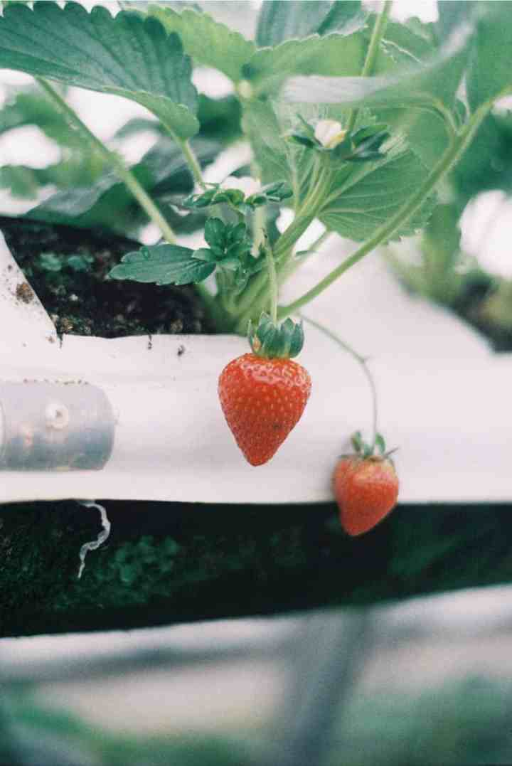 strawberries are great for vertical gardening