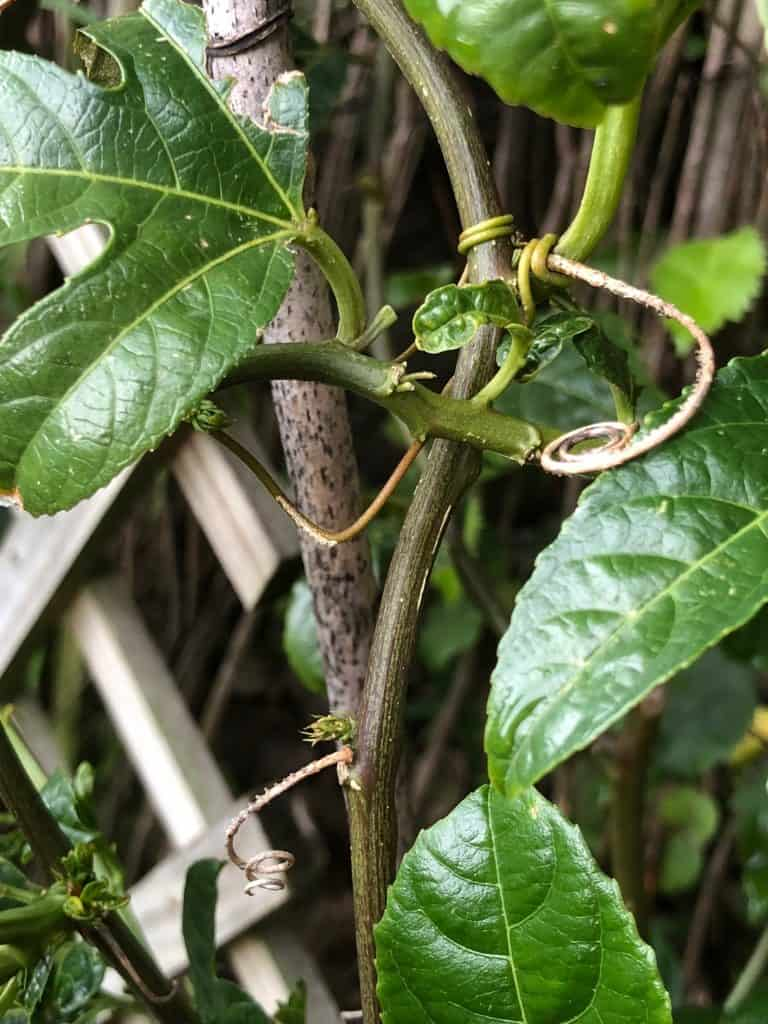May in the Garden- Passion Vine Hopper Eggs on Passionfruit Tendrils