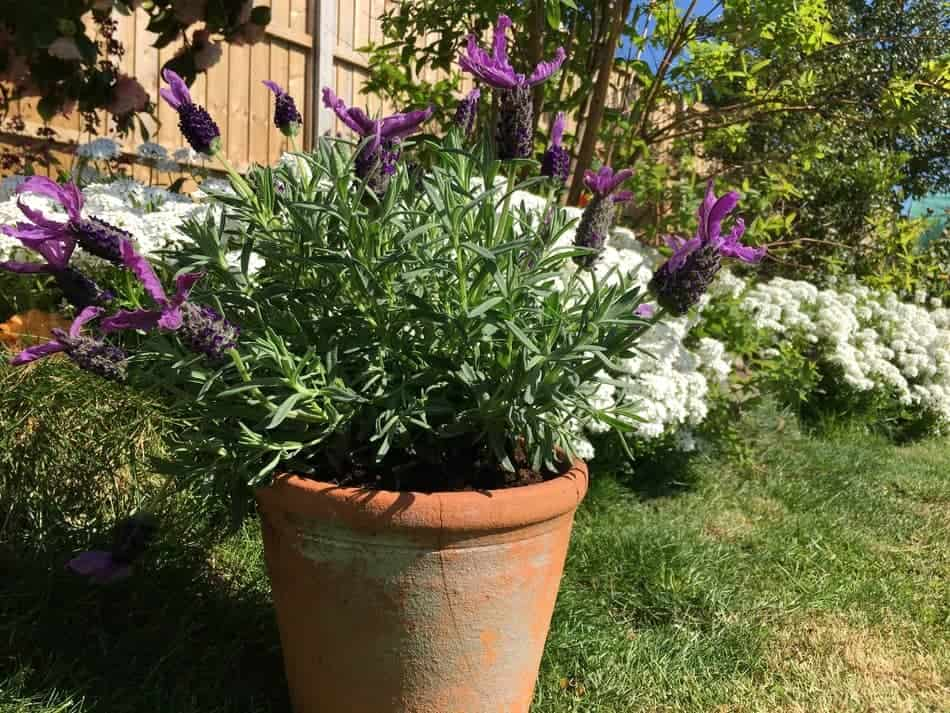 How Long Does Lavender Take to Grow - Seeds Vs Cuttings ...