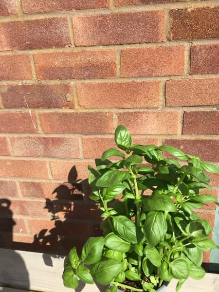 basil is a perfect beginners herb