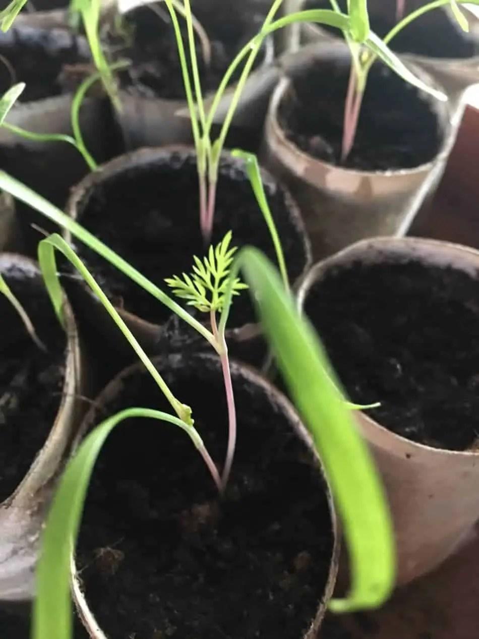 fennel seeds make the best herbal tea
