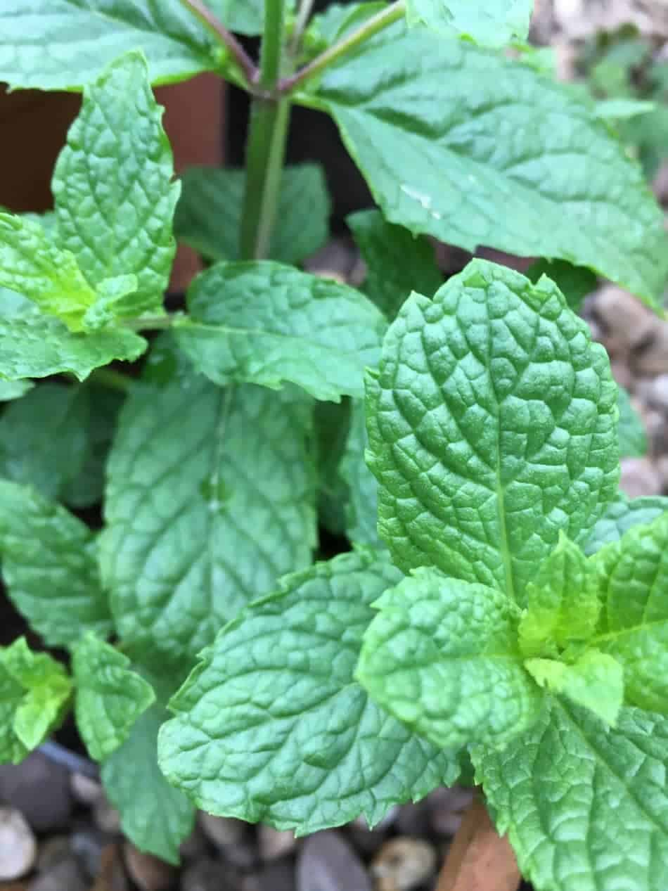 close up of green leaves and mint
