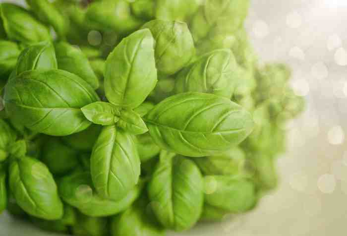green leaved basil