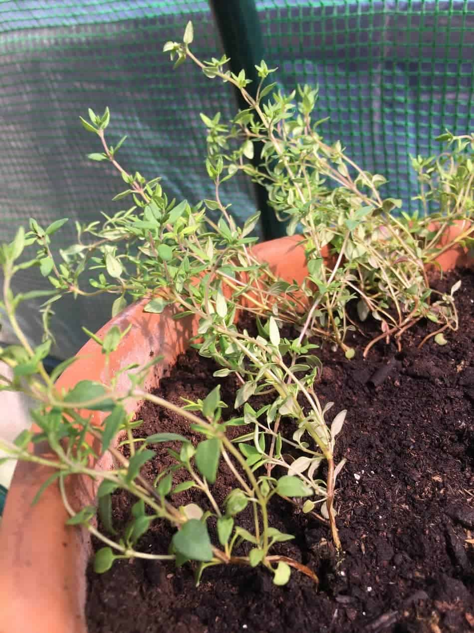pots are perfect for low hanging thyme