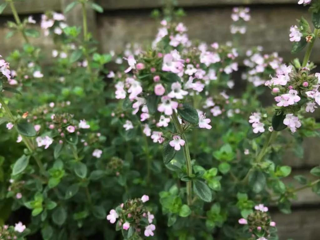 lemon thyme flowering not bolting