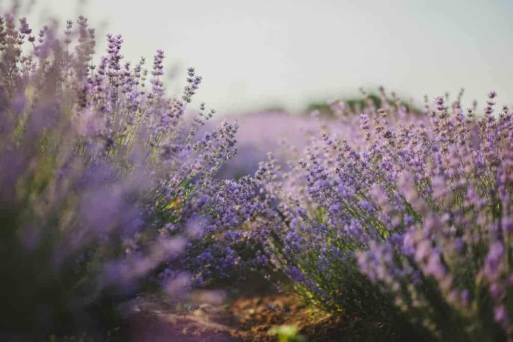 smells from lavender