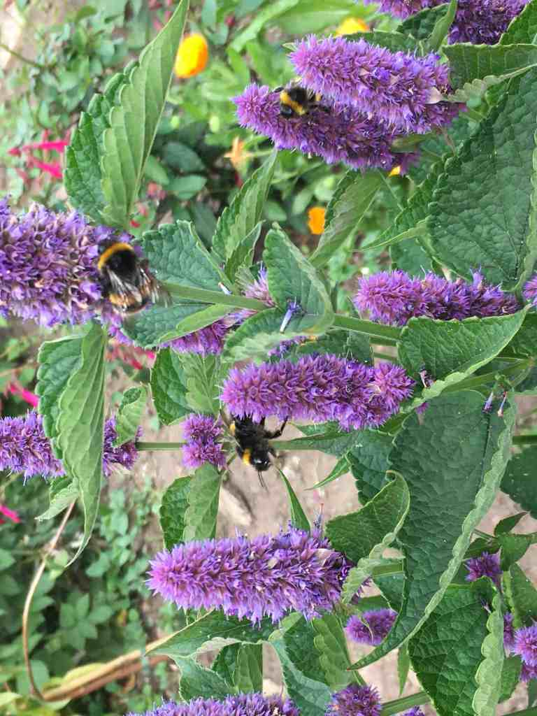 bees on a purple hyssop flower