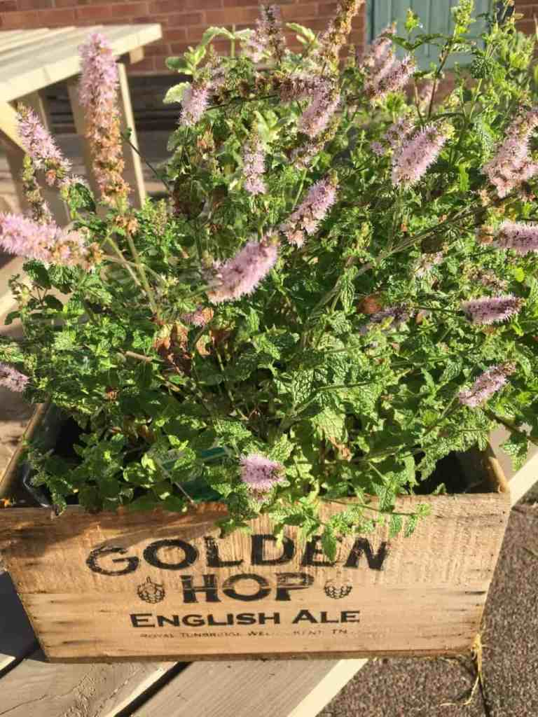 flowering mint in pink, white and lilac spikes. Edible and pretty