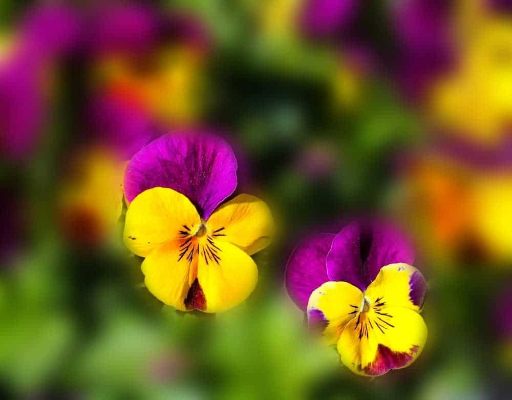 violas in yellow and purple