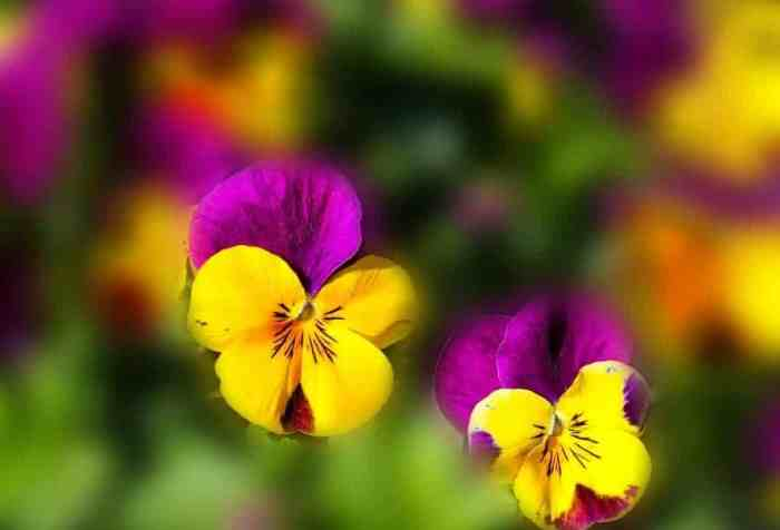 violas in the sun