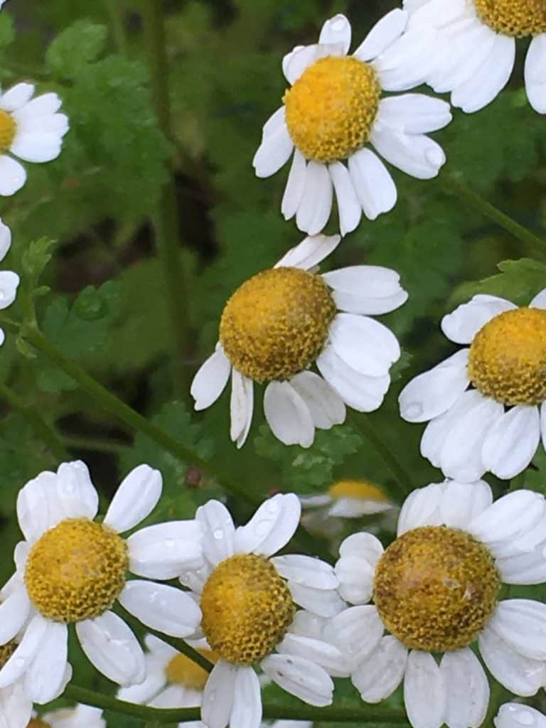 white petals yellow bud and green leaves feverfew is a tasty herb