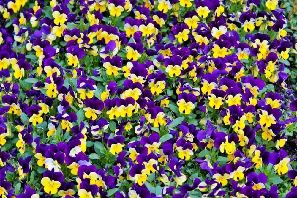 great ground cover provided by violas