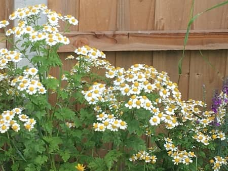 feverfew in our backyard looks like an unusual daisy, growing against a fence