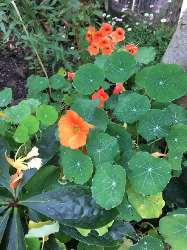 nasturtium foliage and flowers