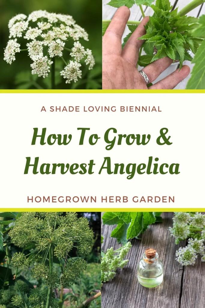 growing angelica