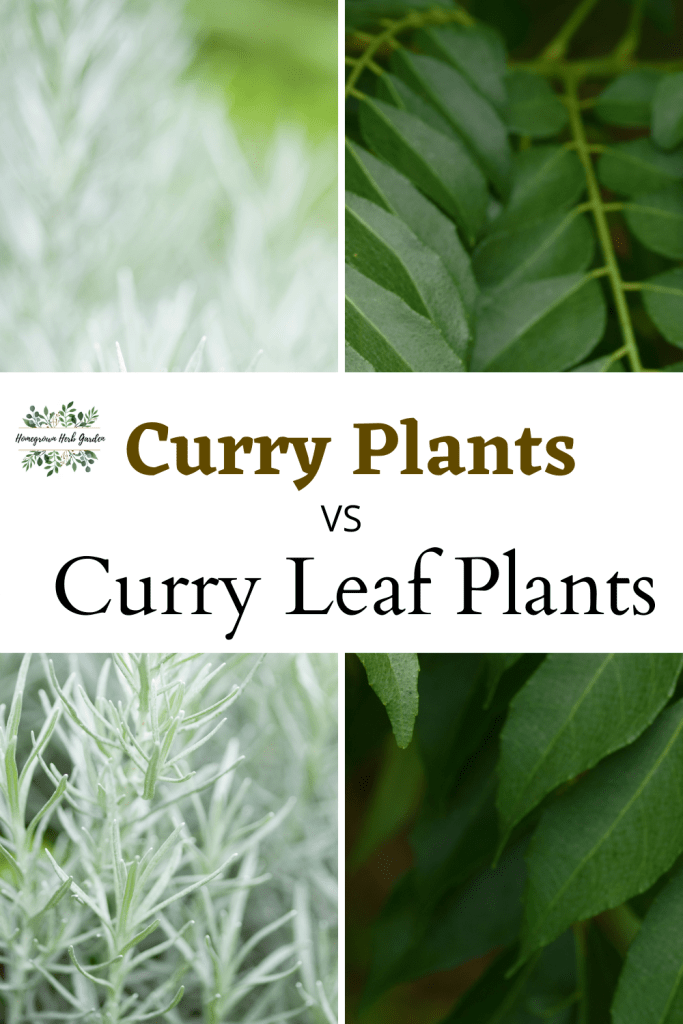 curry plant vs curry leaf plant