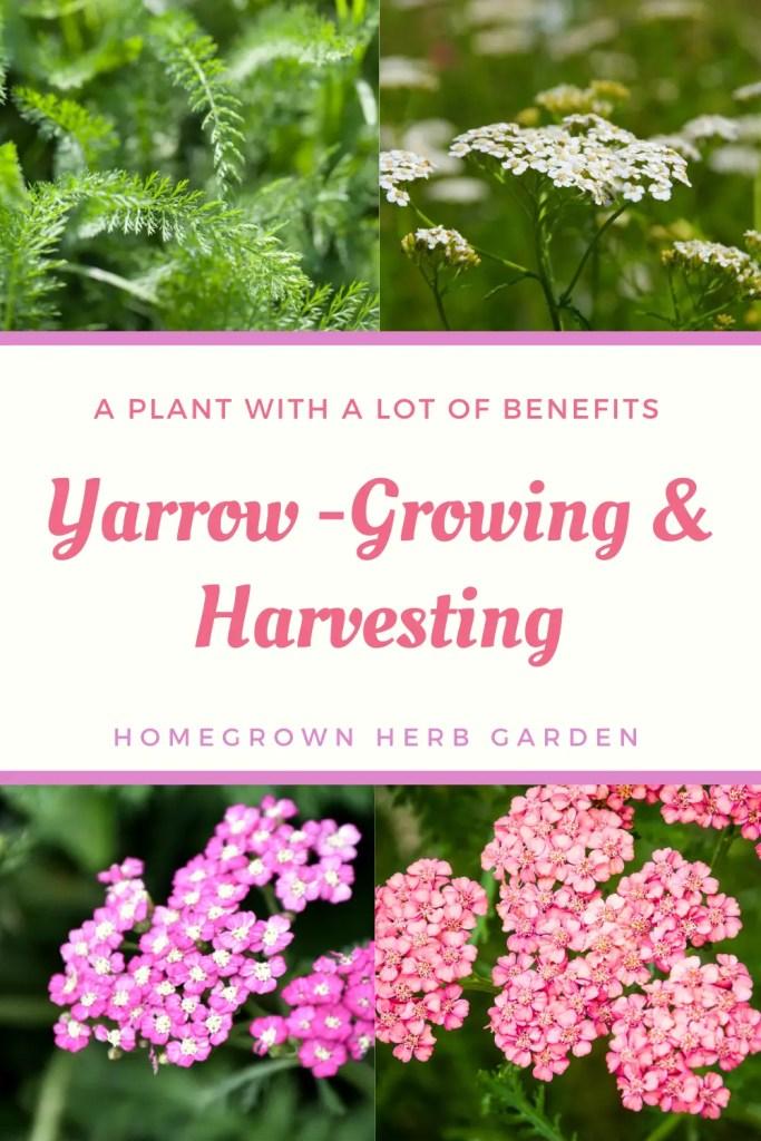 yarrow growing