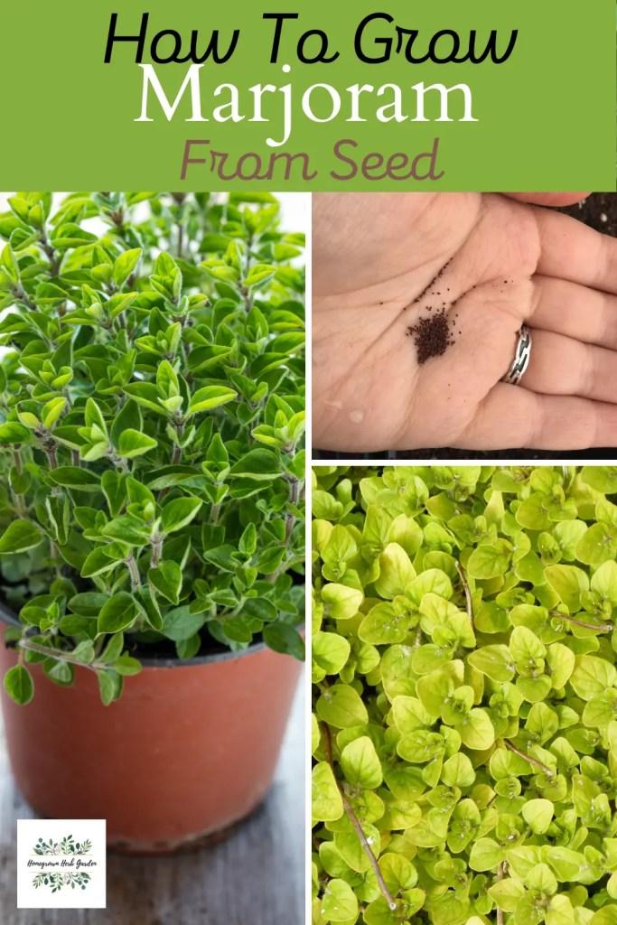 marjoram growing from seed