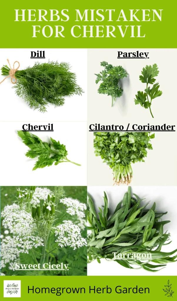 herbs that get mistaken for chervil