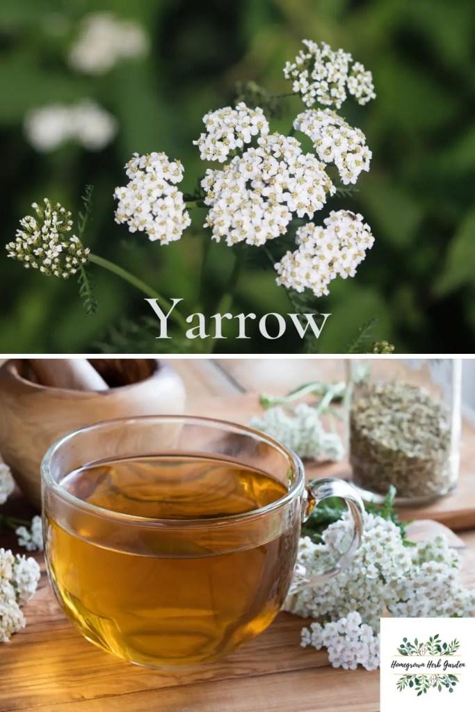 benefits of growing yarrow