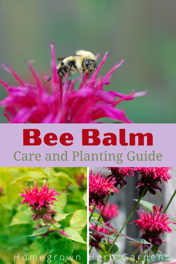 bergamot bee balm in the UK