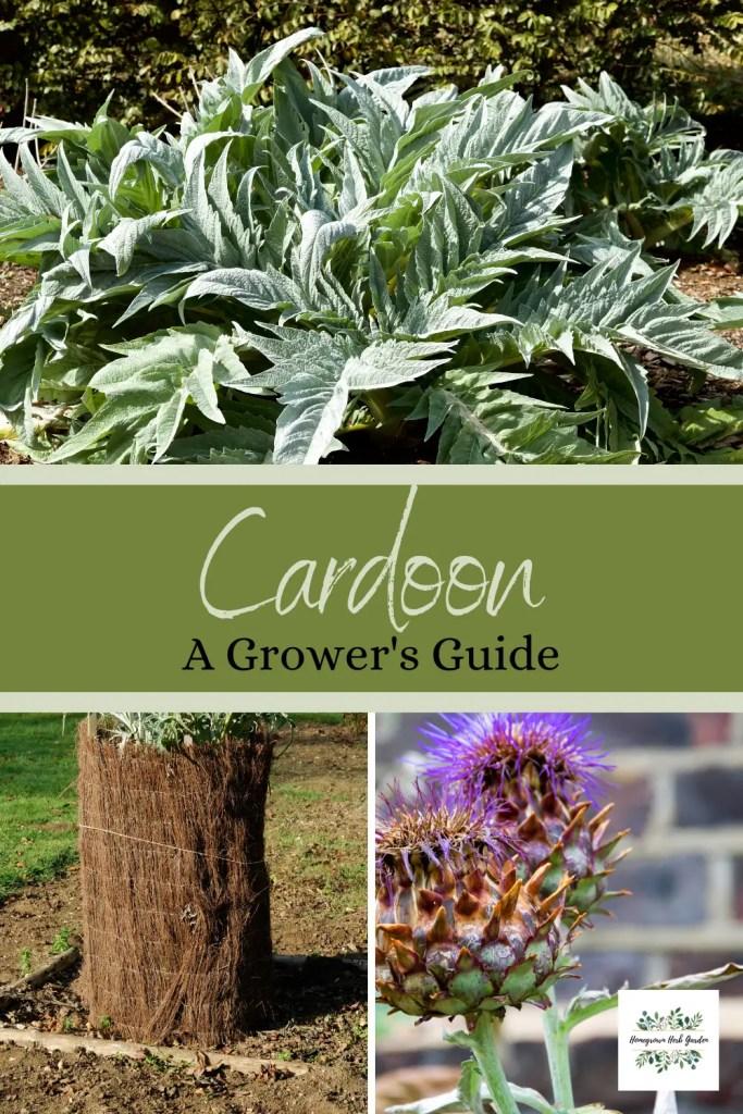 how to grow cardoon