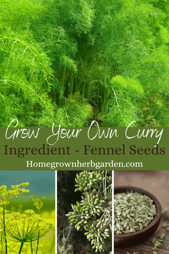 Grow your own curry - fennel seeds