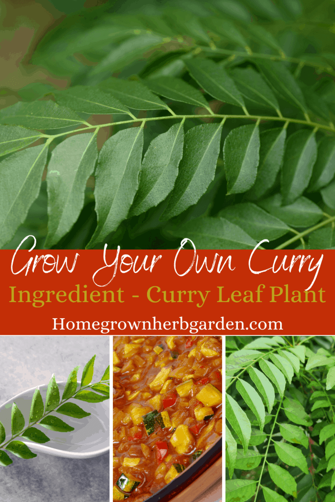 Curry leaf plants for cooking