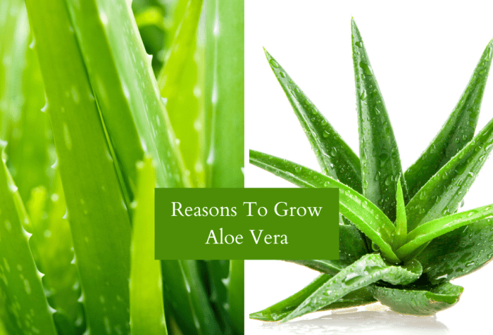 aloe vera benefits and uses