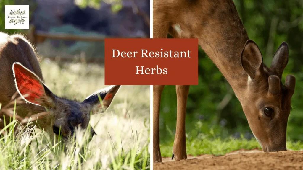 deer resistant herbs