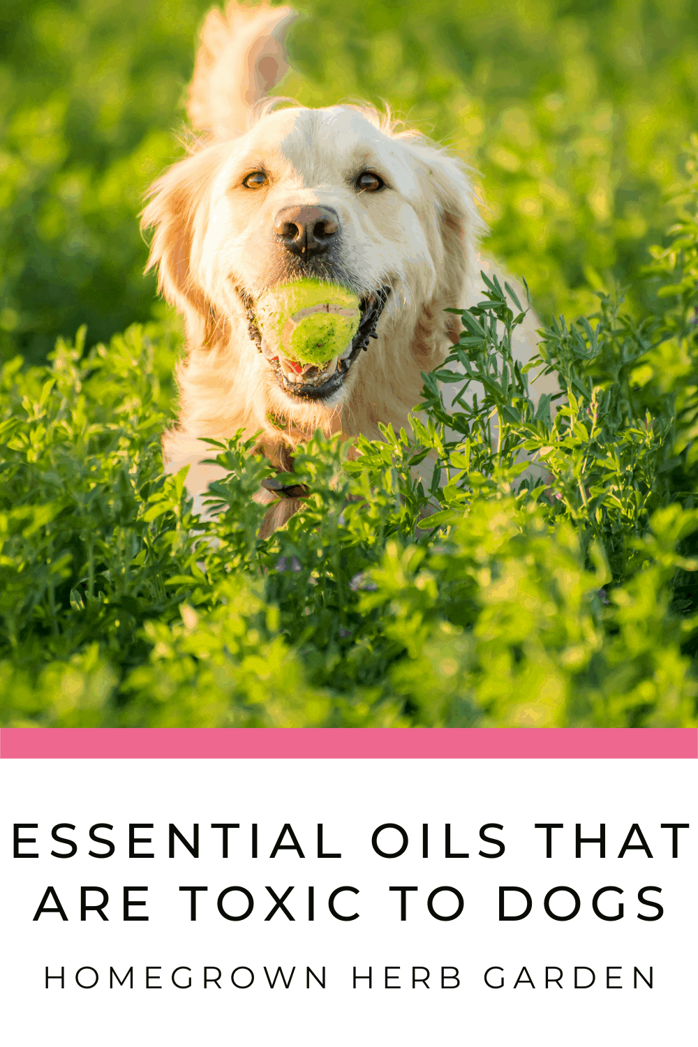 essential oils that are poisonous to dogs