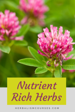 Red clover is one of the top herbs high in nutrition. Most people know this medicinal plant for its use in herbalism, however it is rich in calcium, iron and magnesium. #HerbalIron #HerbalCalcium #RedClover #HerbalMagnesium #Herbalism #HerbalMedicine #HerbalismCourses #OnlineHerbalCourse