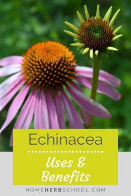 Echinacea benefits and uses are widely known among herbalists and non-herbalists alike. In herbalism, it has become one of our most popular herbal medicines. Use it for helping to lesson the incidence, severity and duration of colds and flu. #Herbalism #OnlineHerbalismCourses