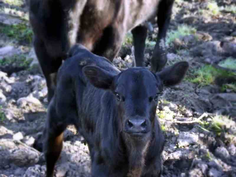 Black Angus Calf- Home in the Finger Lakes