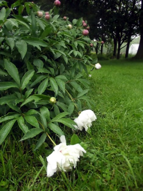 Peonies after the rain-Home in the Finger Lakes