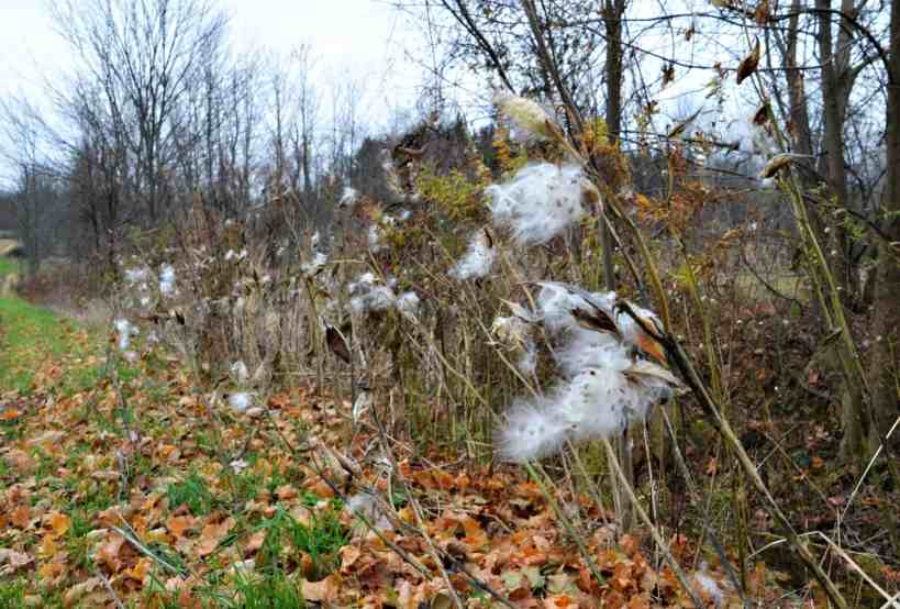 Fluffy Milkweed in the hegderow -Home in the Finger Lakes