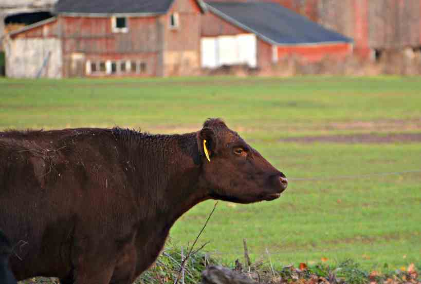 Black Angus Grass Fed- Home in the Finger Lakes