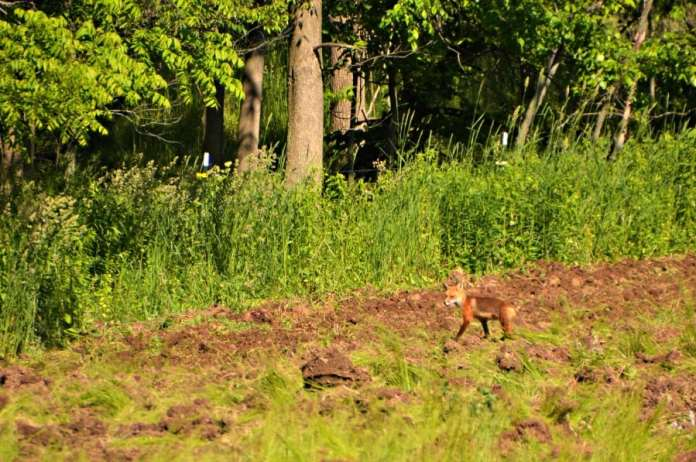 Fox in a field in Upstate New York