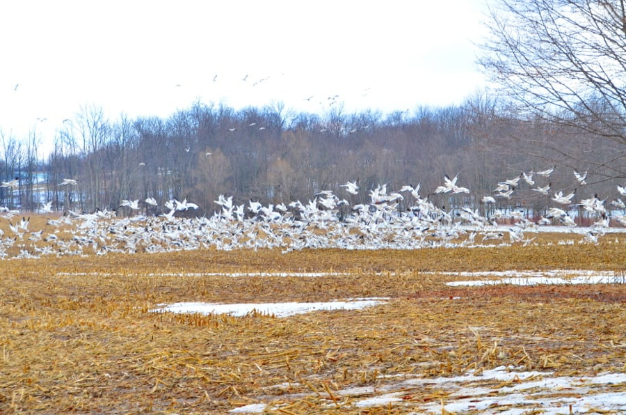 snowgeese2