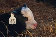 Calves-5