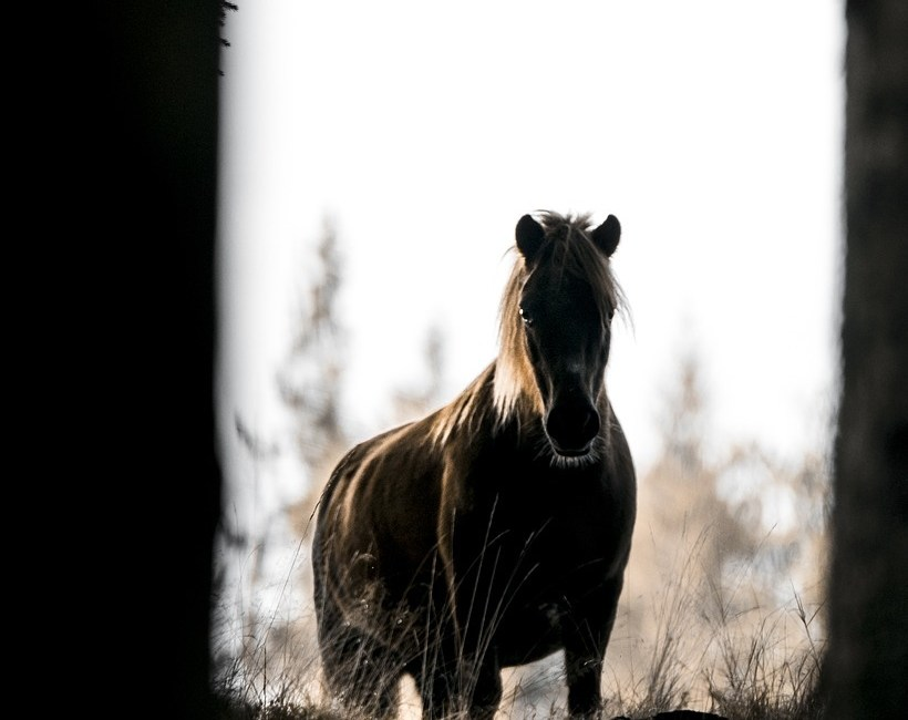 Polen, vilde heste, wild horses,
