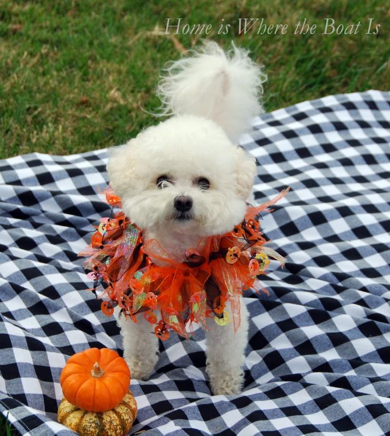 Gracie Halloween | ©homeiswheretheboatis.net #dogs #halloween #bichonfrise