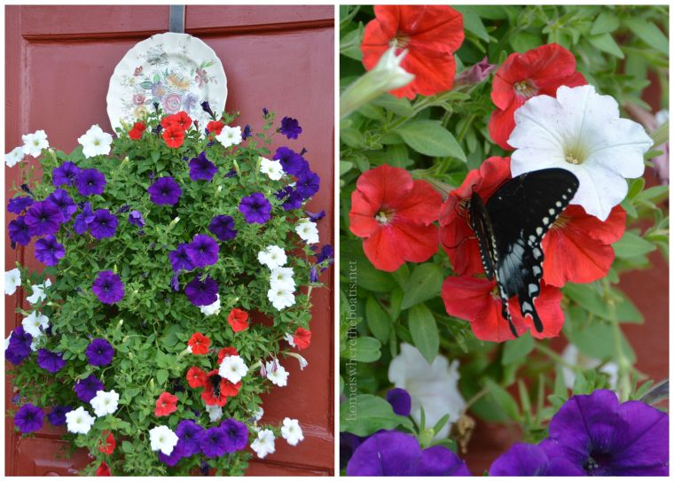 Black Swallowtail Butterfly and petunias-001