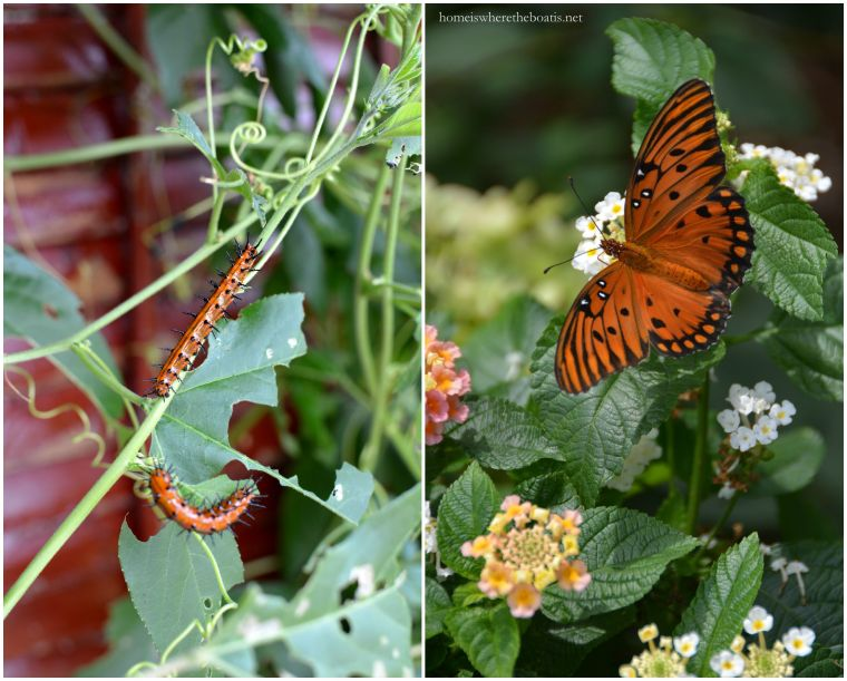 Gulf Fritillary Buttefly and Caterpillars