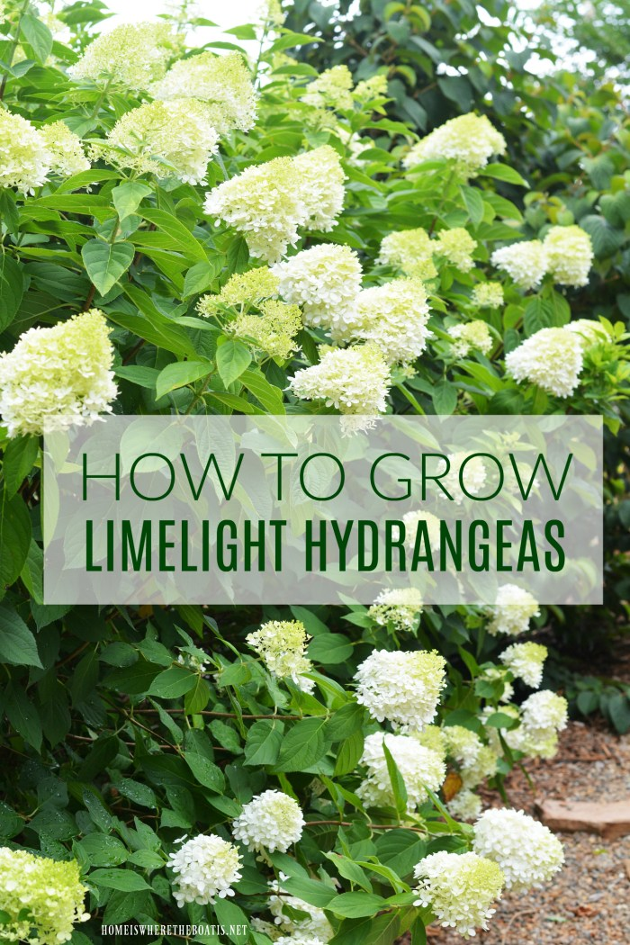 Plant this easy to grow, low maintenance shrub in your garden and enjoy beautiful cut and dried flowers too.  | ©homeiswheretheboatis.net #summer #garden #hydrangea